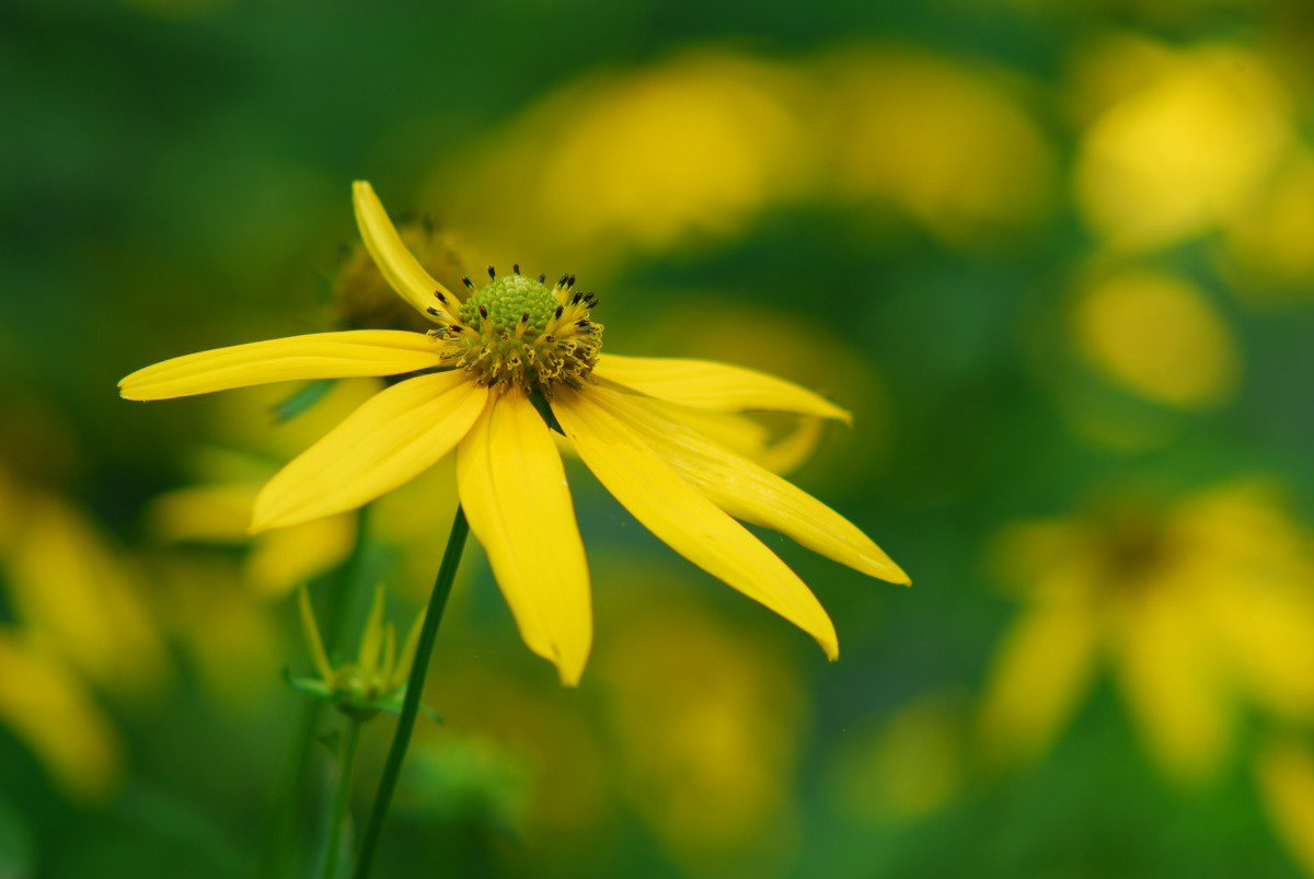 Green-headed Coneflowers  -  Craggy Gardens  -  Blue Ridge Parkway, North Carolina