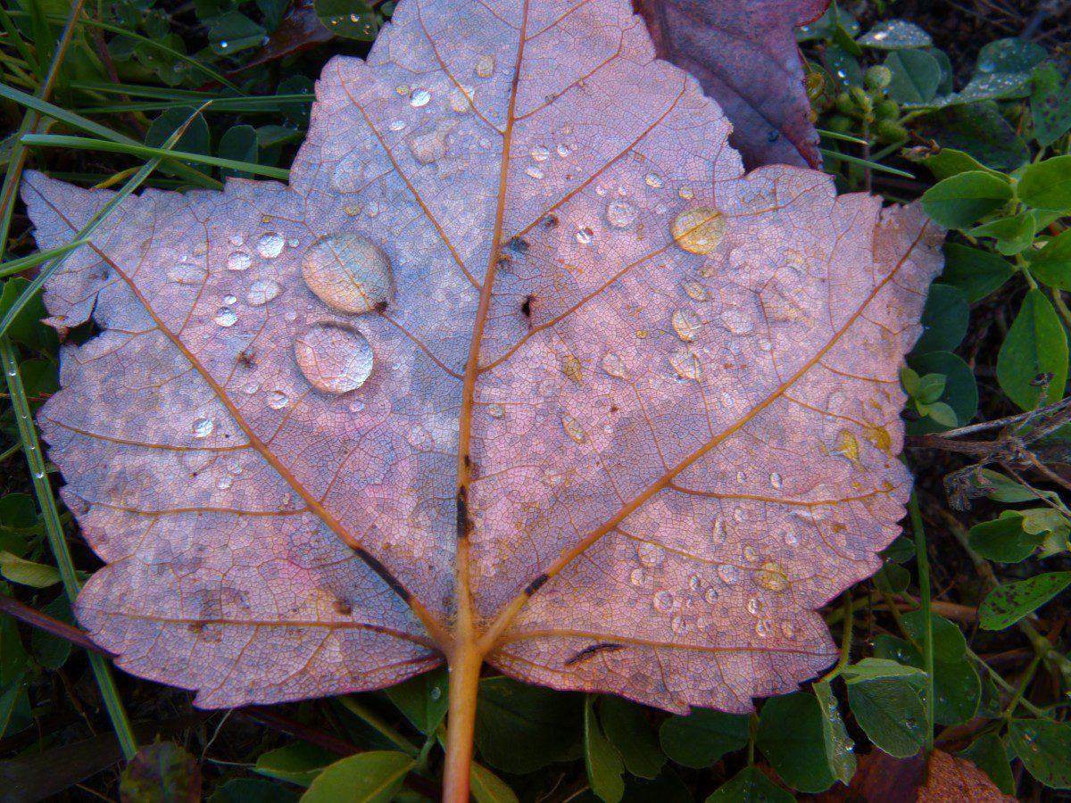 Dew on leaf  -  Hiawatha National Forest, Michigan