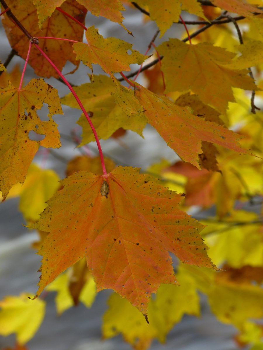 Fall color  -  Presque Isle River Scenic Area  -  Porcupine Mountains Wilderness State Park, Michigan
