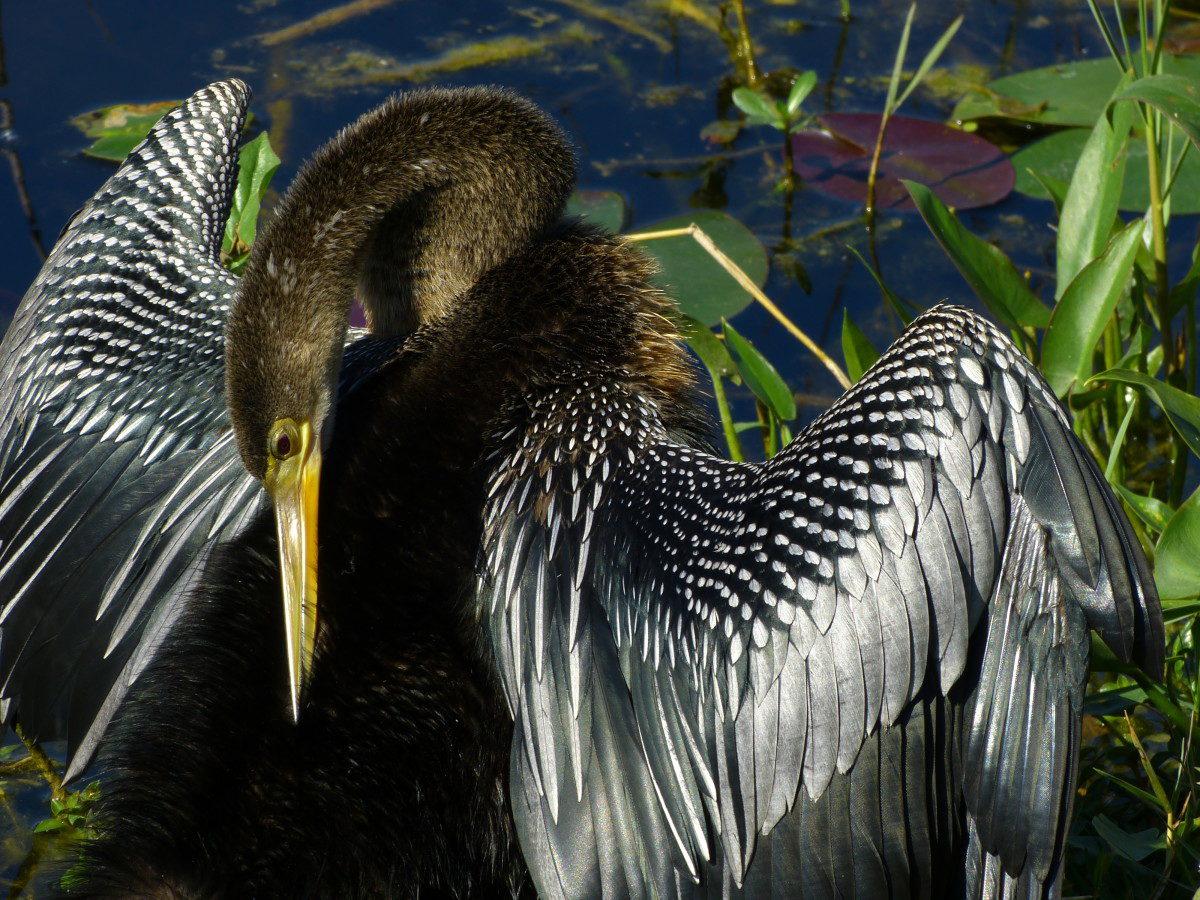 Female Anhinga  -  Shark Valley area  -  Everglades National Park, Florida