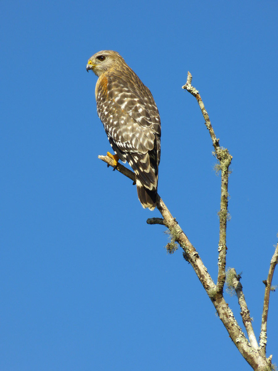 Red-shouldered Hawk  -  Bird Rookery Swamp Trail  -  Immokalee, Florida