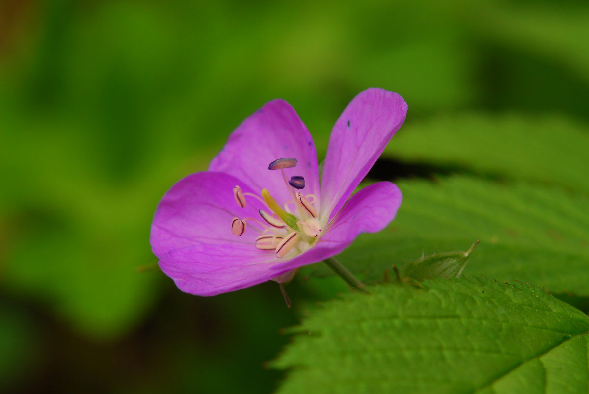 Wild Geranium  -  Porters Creek Trail  -  Greenbrier Section  -  Great Smoky Mountains National Park, Tennessee