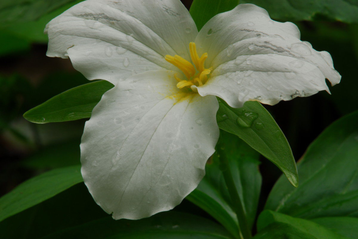 Large-flowered Trillium  -  Cove Hardwoods Nature Trail  -  Chimneys Picnic Area  -  Great Smoky Mountains National Park, Tennessee