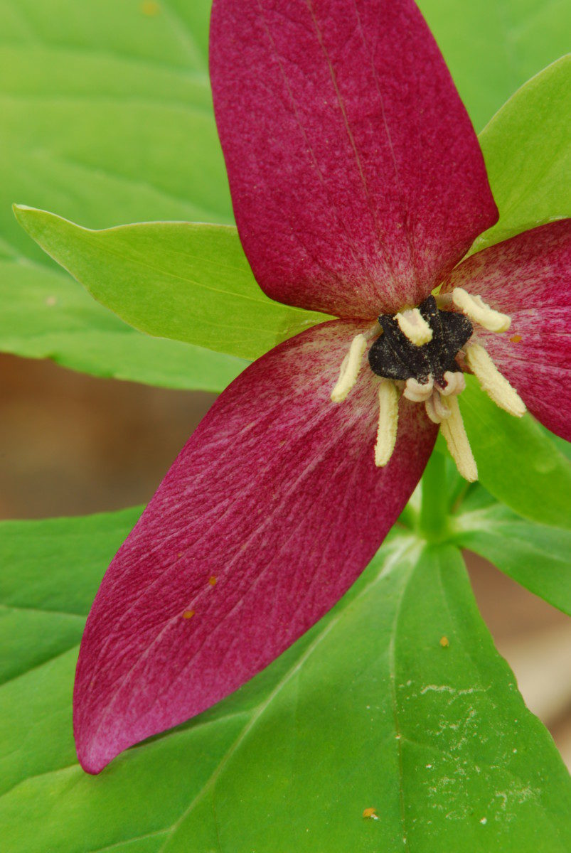 Erect Trillium  -  Cove Hardwoods Nature Trail  -  Chimneys Picnic Area  -  Great Smoky Mountains National Park, Tennessee