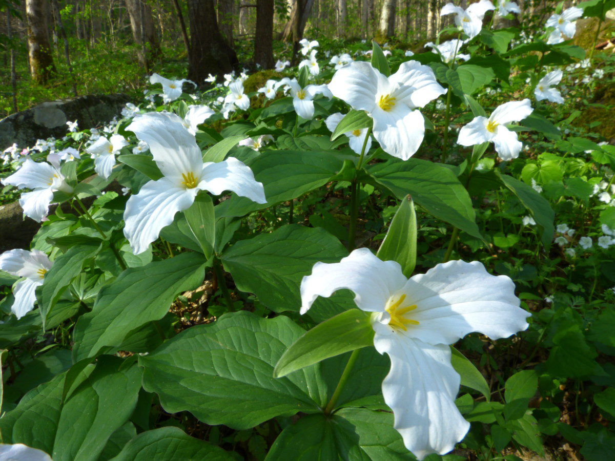 Large-flowered Trillium  -  Cove Hardwoods Nature Trail  -  Great Smoky Mountains National Park, Tennessee