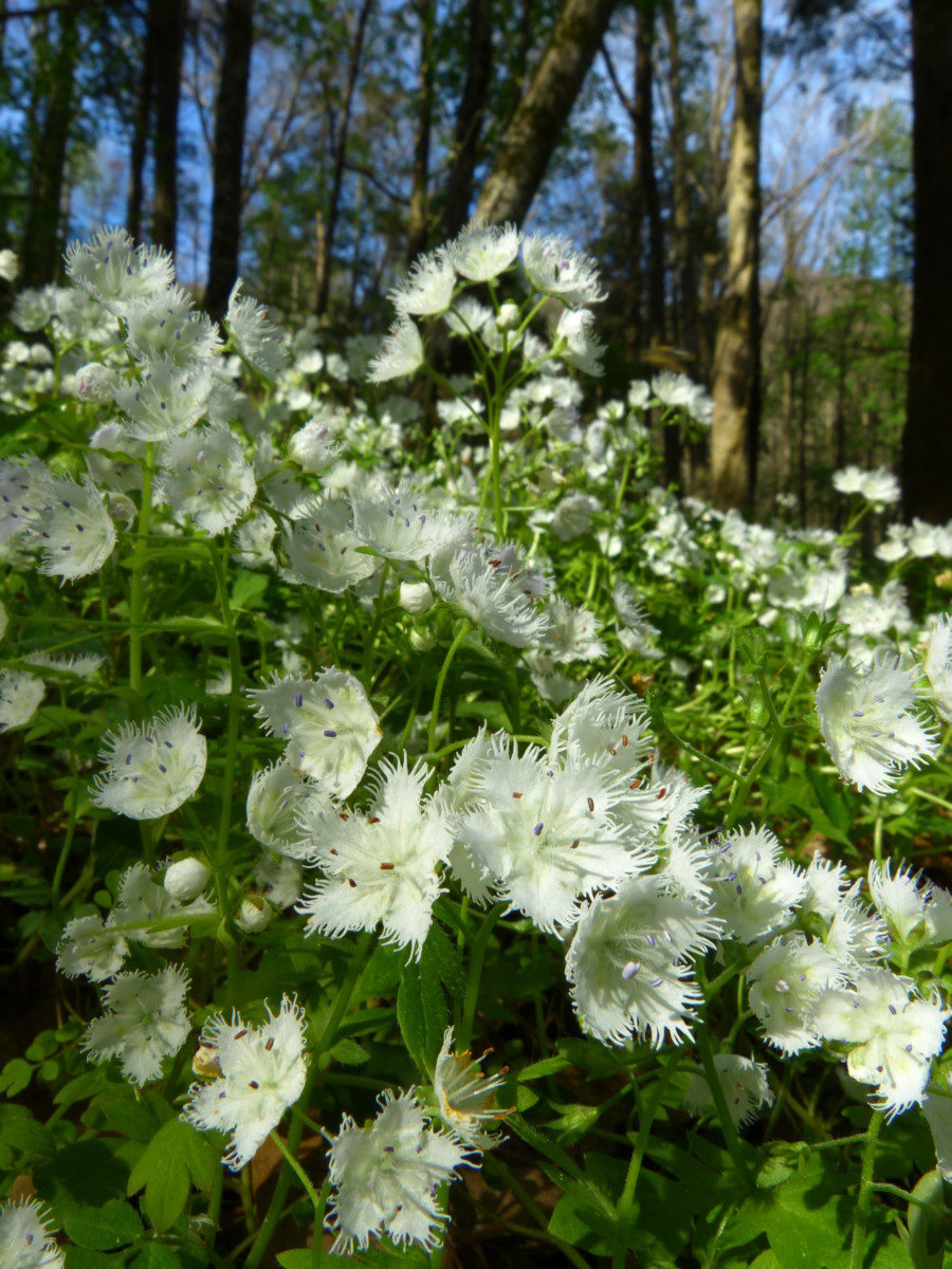 Fringed Phacelia  -  Cove Hardwoods Nature Trail  -  Great Smoky Mountains National Park, Tennessee