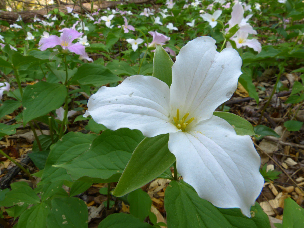Large-flowered Trillium  -  Roaring Fork Motor Nature Trail  -  Great Smoky Mountains National Park, Tennessee