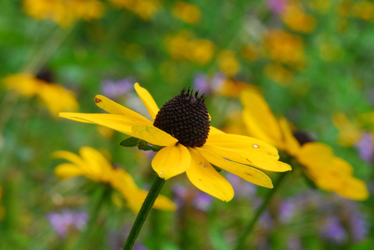 Black-eyed Susan, other wildflowers  -  Fryingpan Gap  -  Blue Ridge Parkway, North Carolina