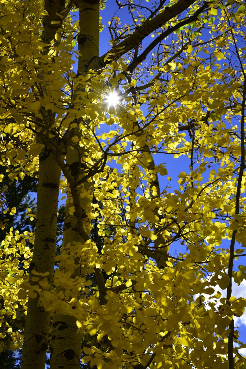 Sun star through aspens  -  Hidden Valley area  -  Trail Ridge Road  -  Rocky Mountain National Park, Colorado