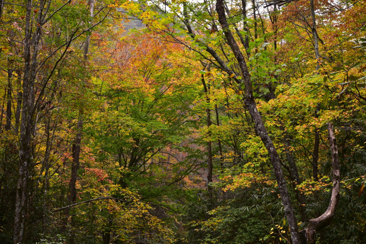 Fall colors  -  Middle Saluda Passage of the Palmetto Trail  -  Jones Gap State Park, South Carolina