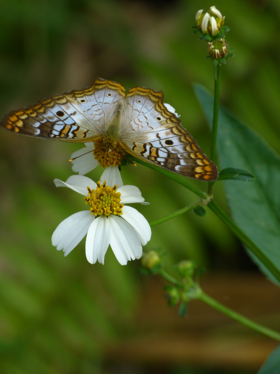White Peacock Butterfly on Shepherd's Needle  -  Bird Rookery Swamp Trail  -  Collier County, Florida