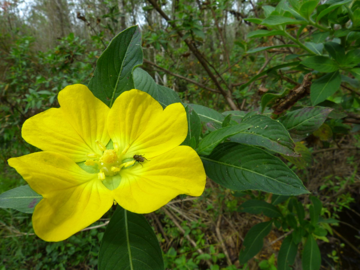 Seedbox  -  Bird Rookery Swamp Trail  -  Collier County, Florida