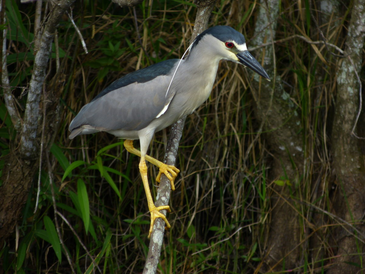 Black-crowned Night Heron  -  Shark Valley Area  -  Everglades National Park, Florida