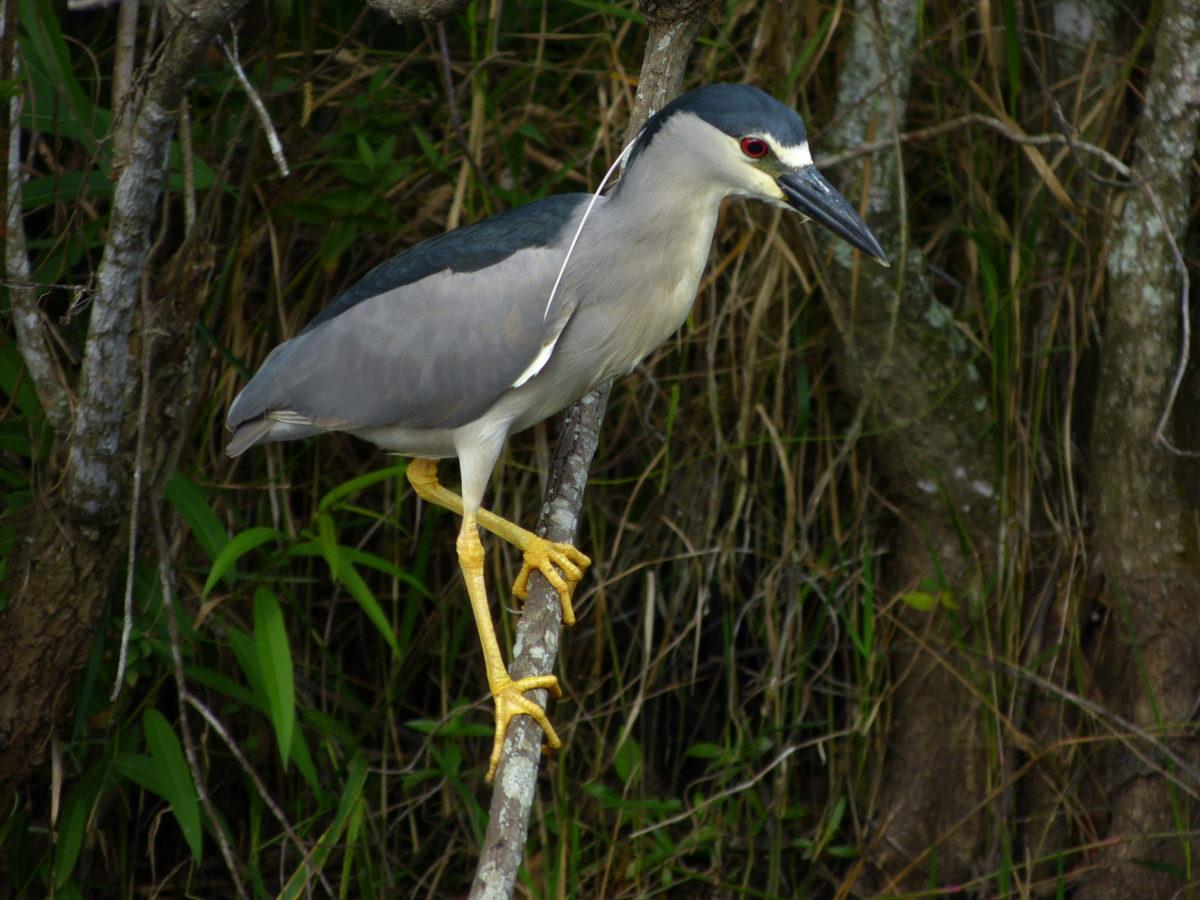 Black-crowned Night Heron  -  Shark Valley Area  -  Everglades National Park, Florida
