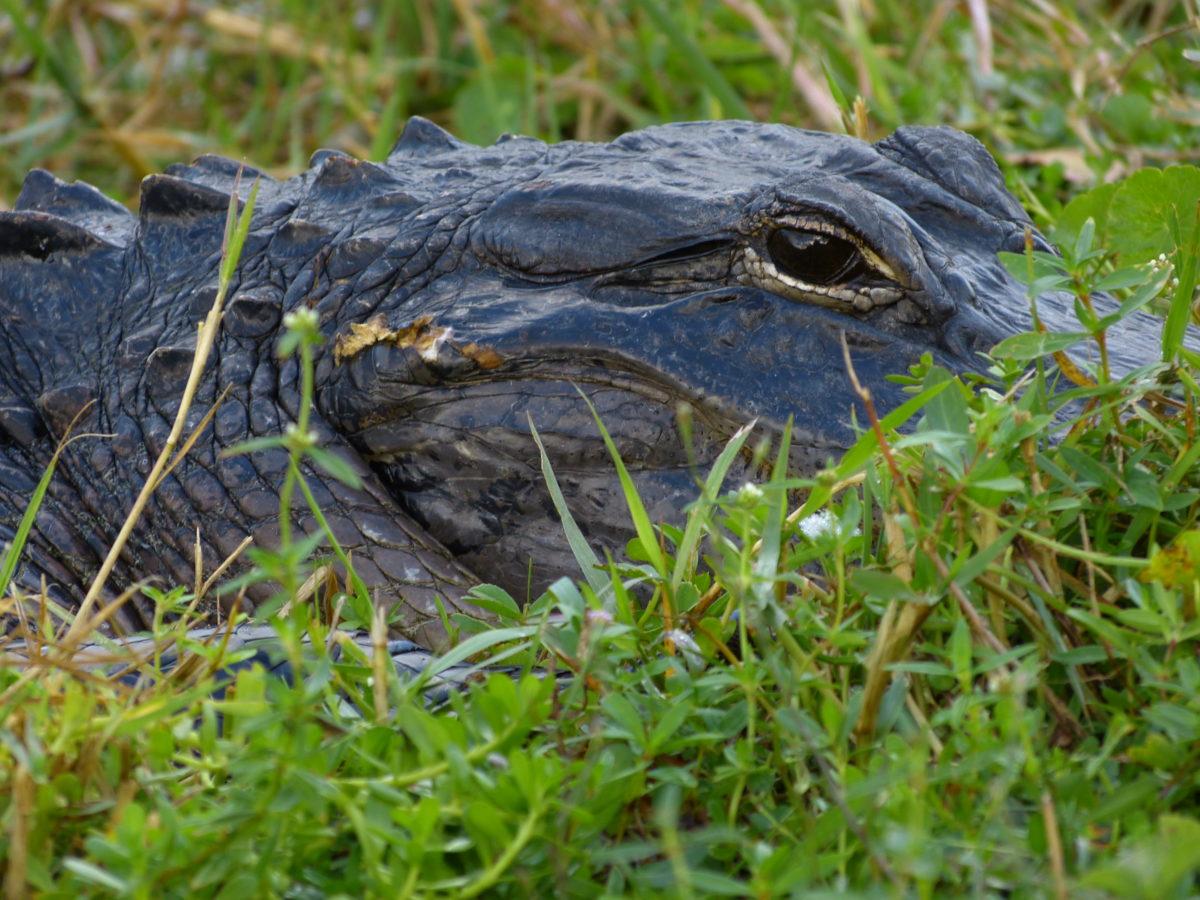 Alligator  -  Shark Valley Area  -  Everglades National Park, Florida