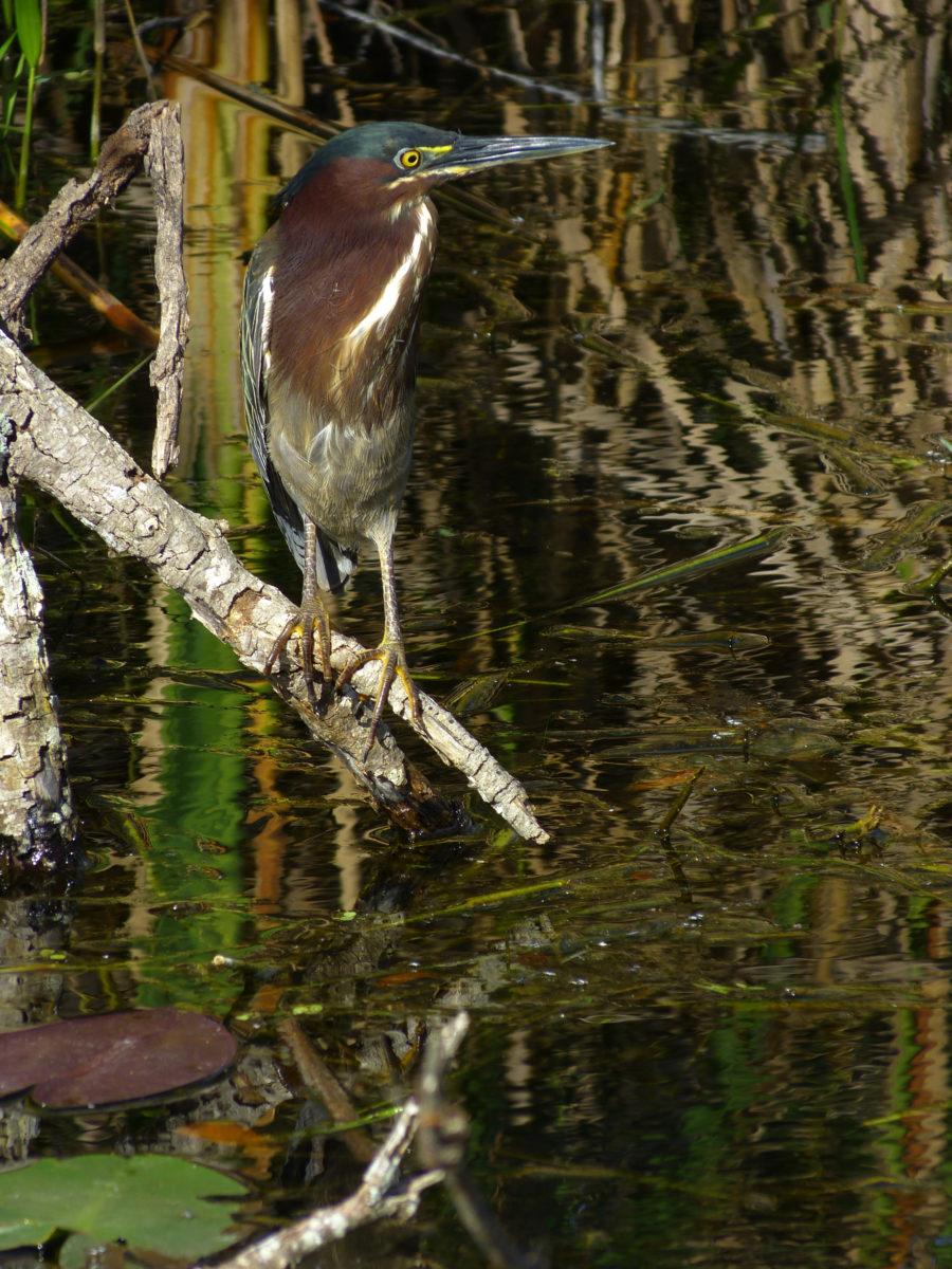 Green Heron  -  Shark Valley Area  -  Everglades National Park, Florida