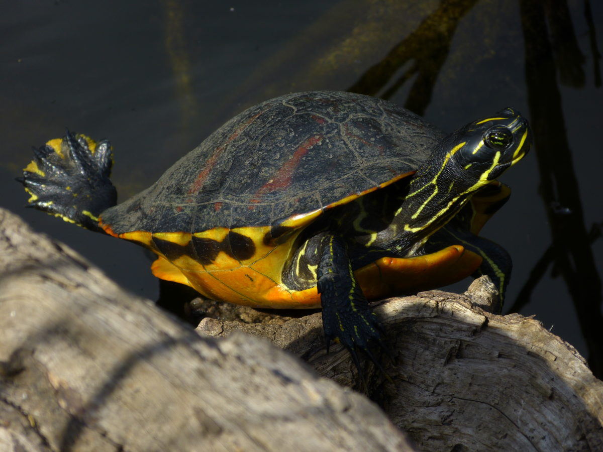 Red-bellied Turtle  -  Shark Valley Area  -  Everglades National Park, Florida