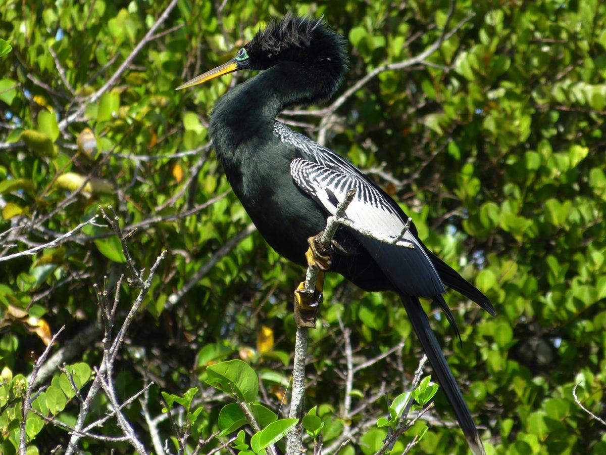 Anhinga (male) in breeding plumage  -  Shark Valley Area  -  Everglades National Park, Florida