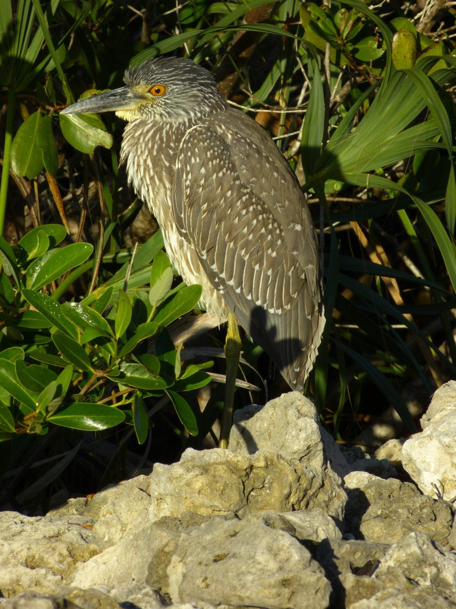 Yellow-crowned Night Heron  -  Ding Darling National Wildlife Refuge, Florida