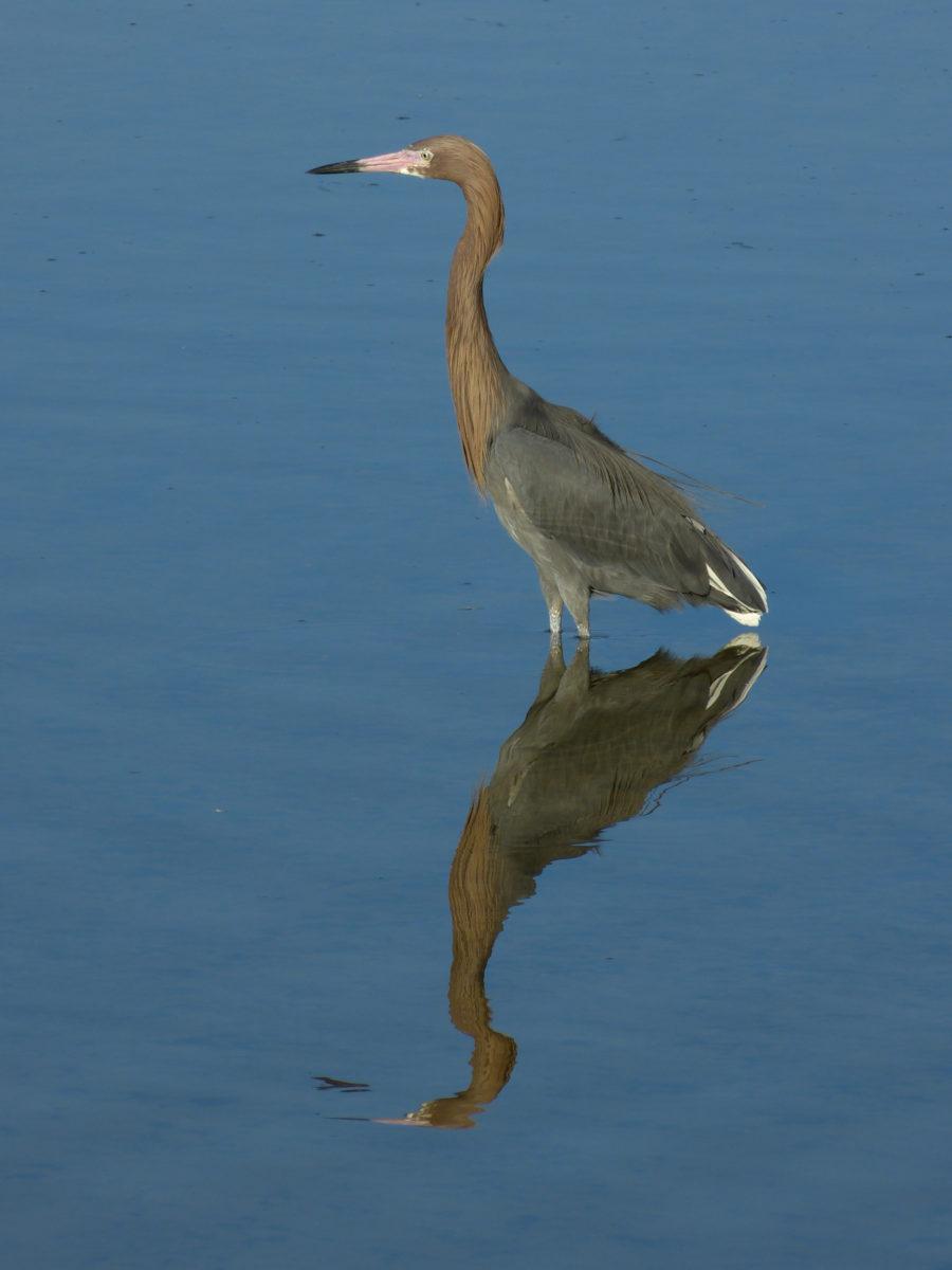 Reddish Egret  -  Ding Darling National Wildlife Refuge, Florida