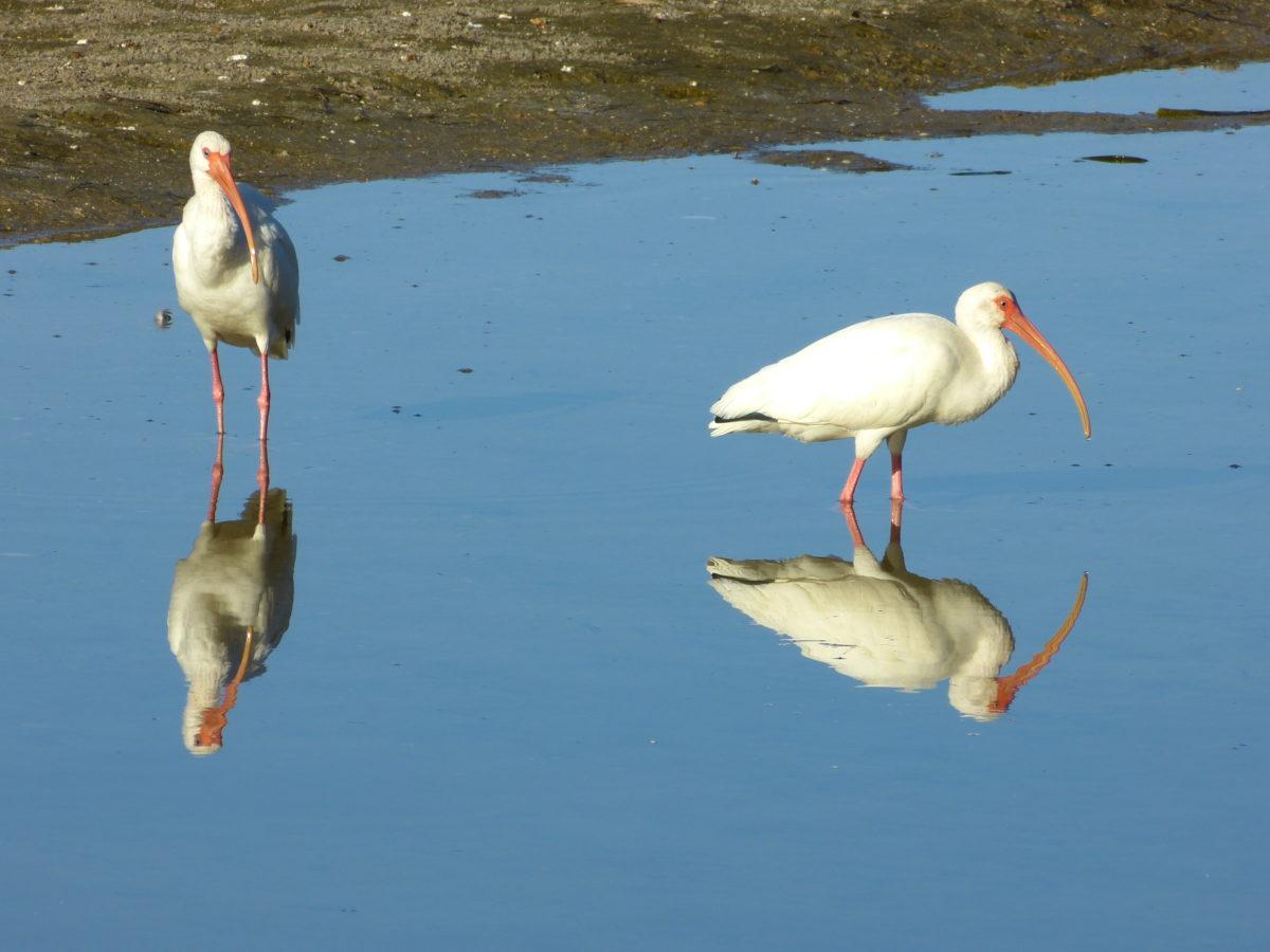 White Ibises  -  Ding Darling National Wildlife Refuge, Florida