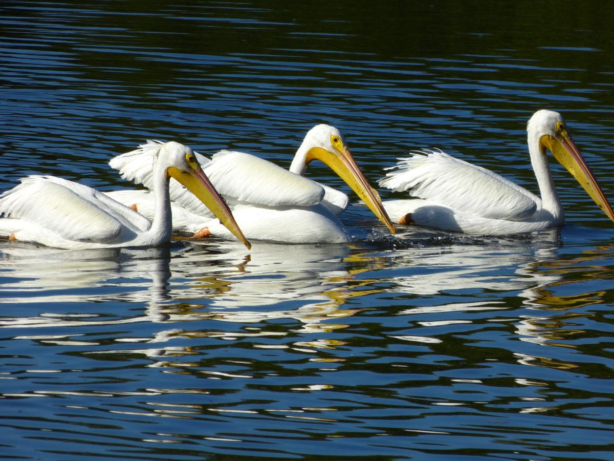 White Pelicans  -  Ding Darling National Wildlife Refuge, Florida