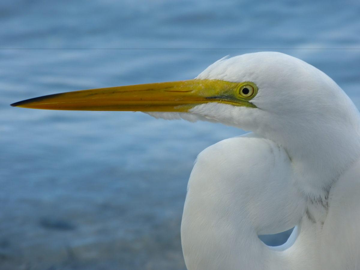 Great Egret  -  New Pass  -  Sarasota County, Florida