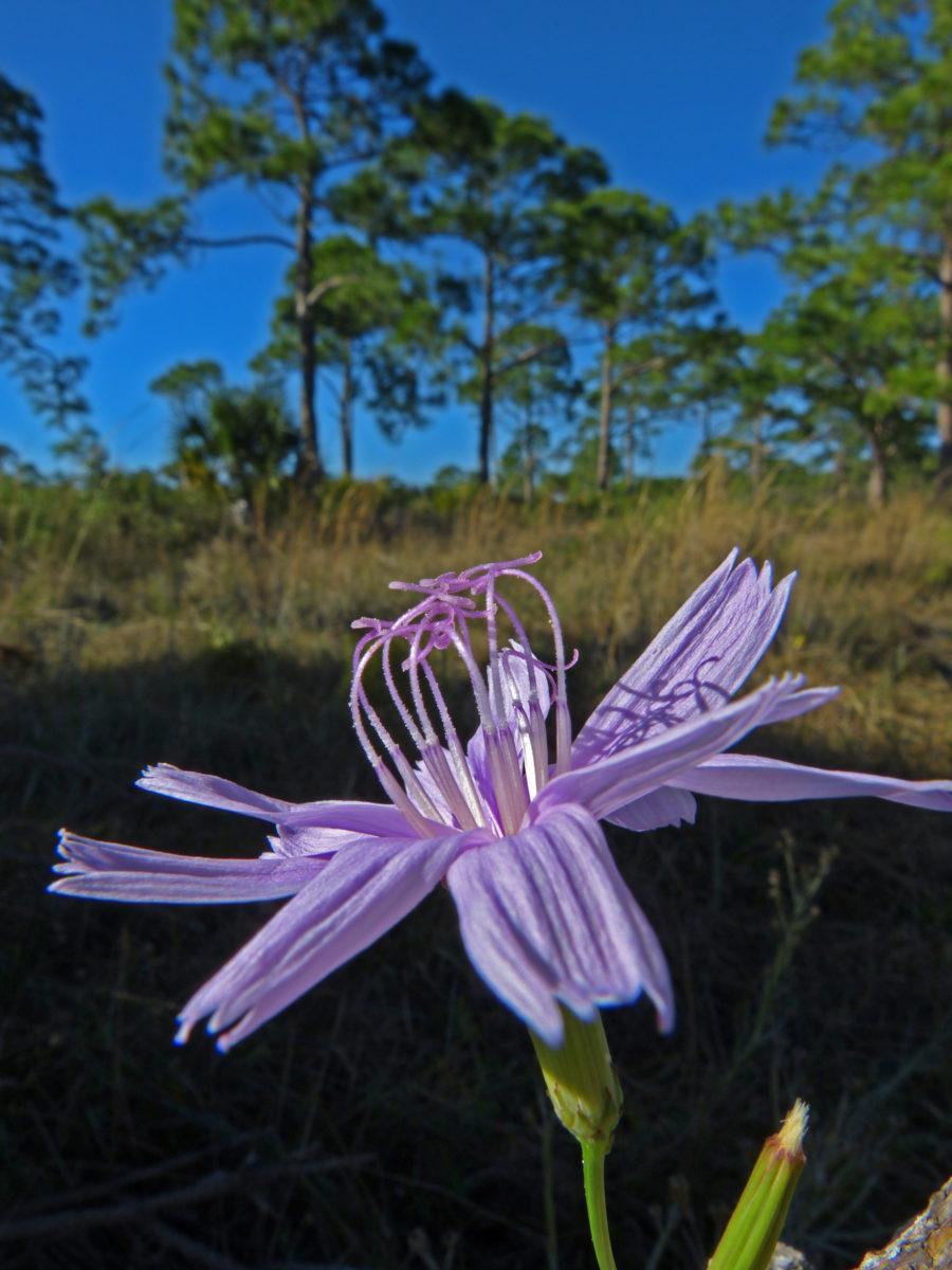 Roserush  -  Oscar Scherer State Park, Florida