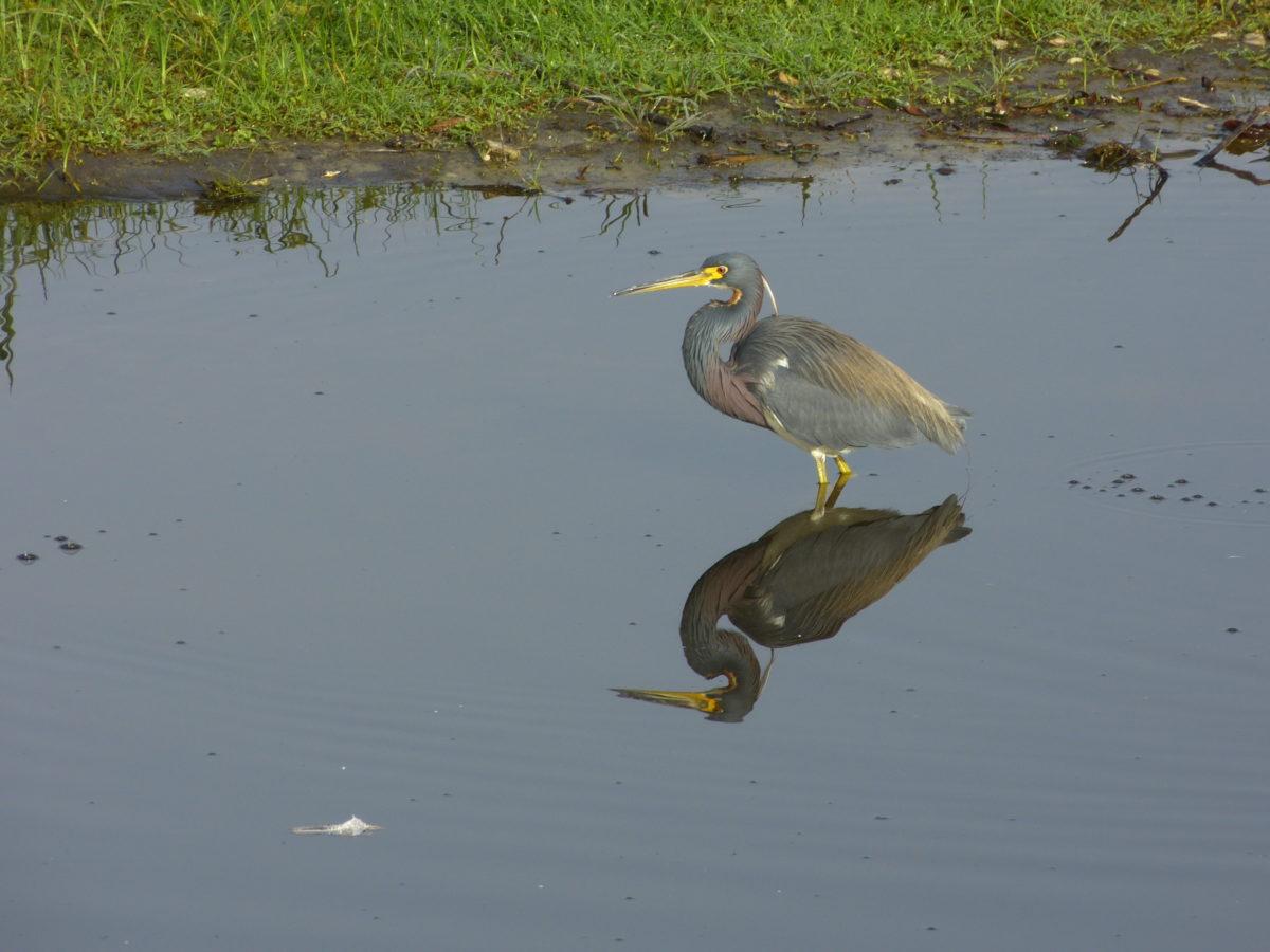 Tri-colored Heron  -  Myakka River  -  Myakka River State Park, Florida