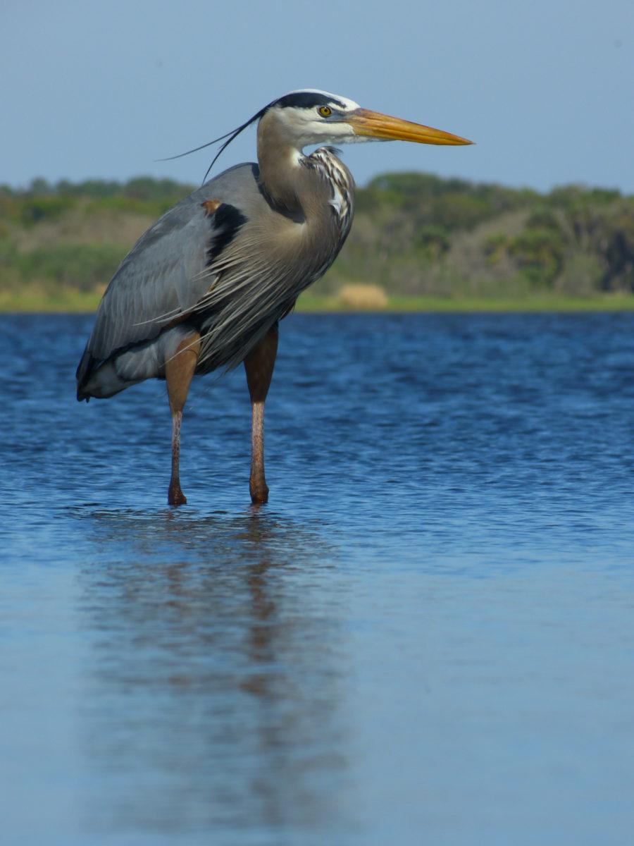 Great Blue Heron  -  Upper Myakka Lake  -  Myakka River State Park, Florida