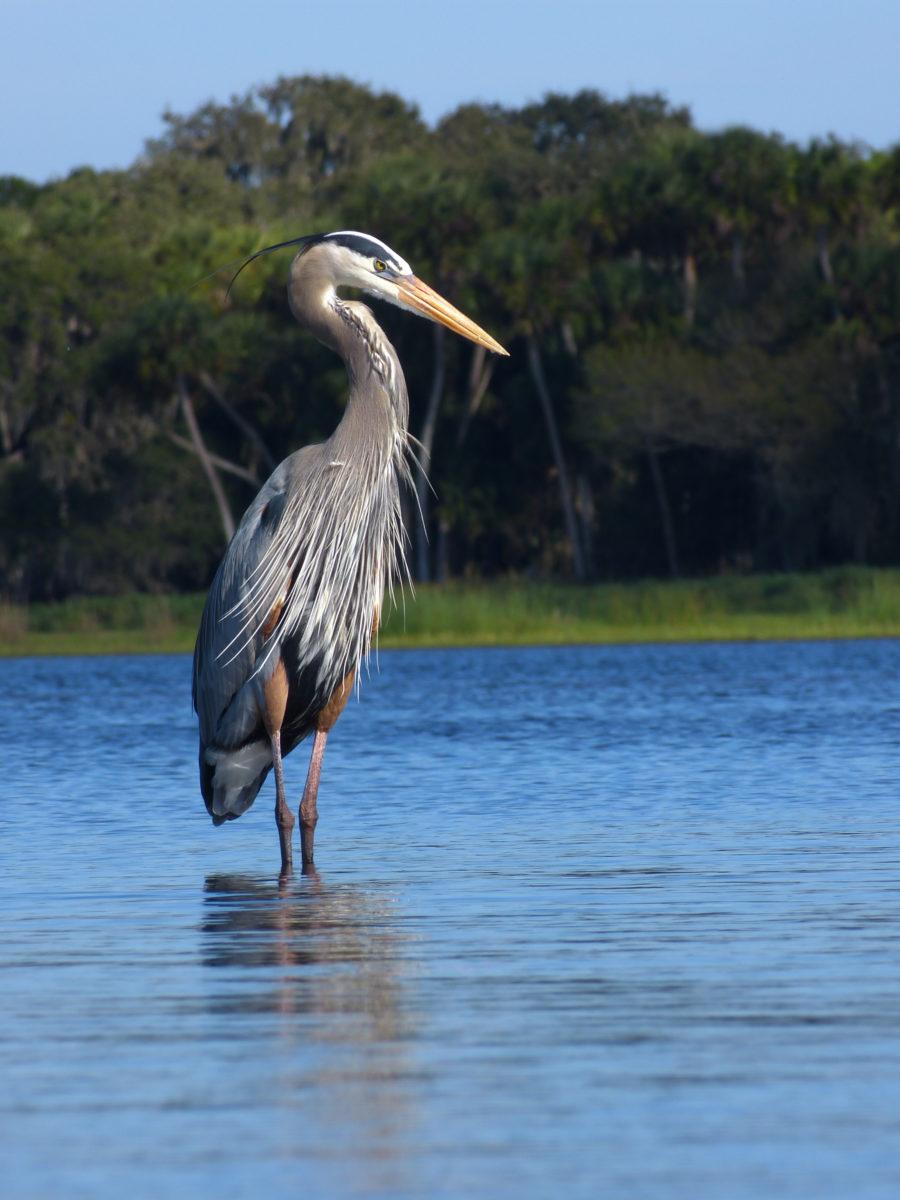 Great Blue Heron  -  Myakka River State Park, Florida