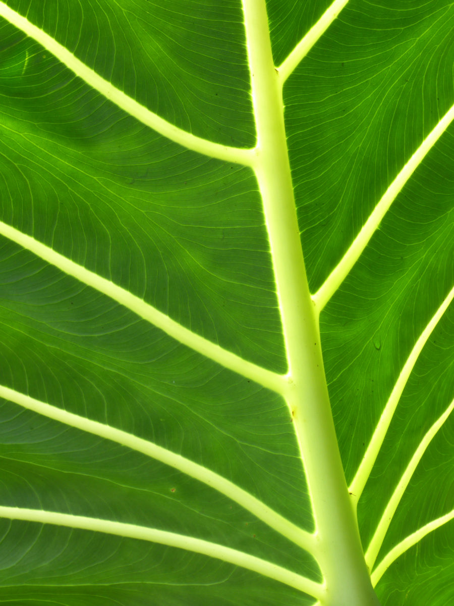 Philodendron Leaf  -  Marie Selby Botanical Gardens  -  Sarasota, Florida