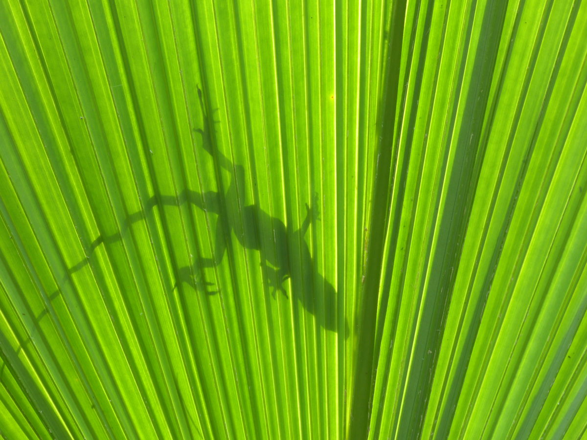 Lizard shadow on palm frond  -  Marie Selby Botanical Gardens  -  Sarasota, Florida