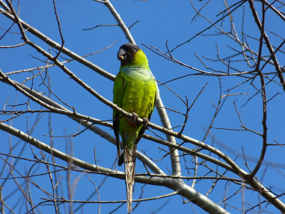 Black-hooded Parakeet   -  The Celery Fields  -  Sarasota County, Florida