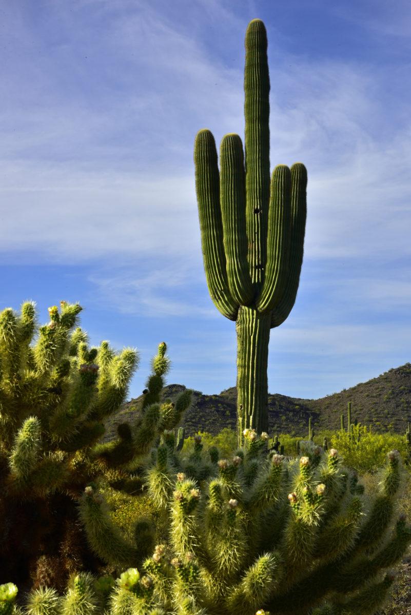 Teddy Bear Cholla and Saguaro Cacti  - 104th Street Trail  -  McDowell Sonoran Preserve  -  Scottsdale, Arizona