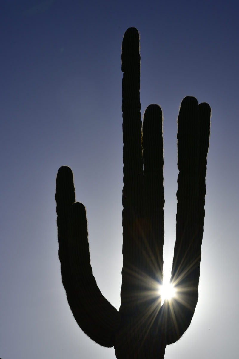 Saguaro Cactus with Sunstar  -  Saguaro Trail  -  McDowell Sonoran Preserve  -  Scottsdale, Arizona