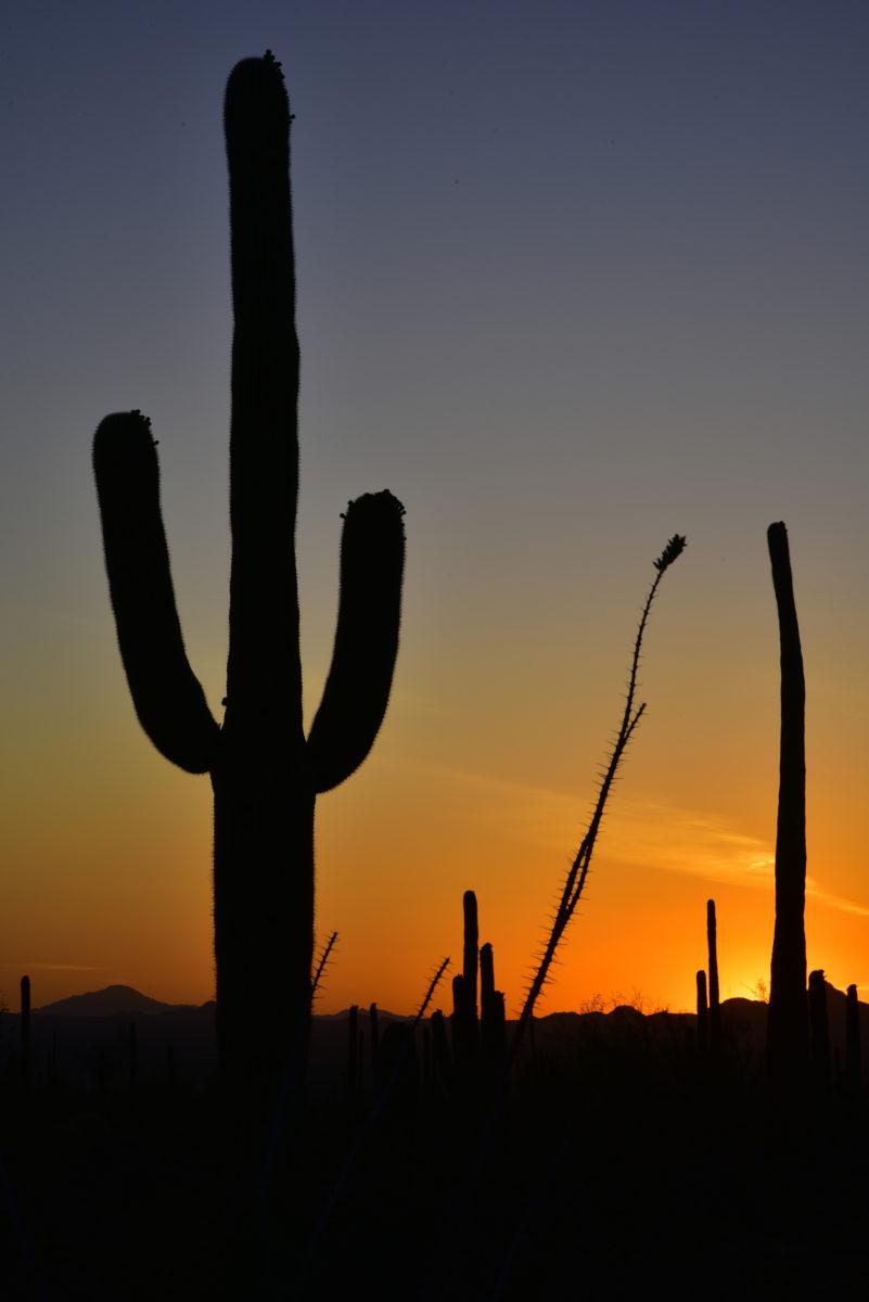 Saguaro Cacti and Ocotillo at Sunset  -  Saguaro National Park (West Section), Arizona