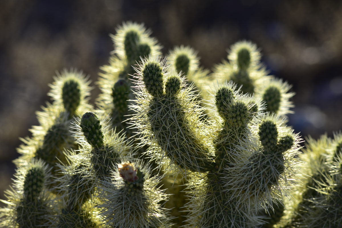 Backlit Teddy Bear Cholla Cactus  -  Saguaro Trail  -  McDowell Sonoran Preserve  -  Scottsdale, Arizona