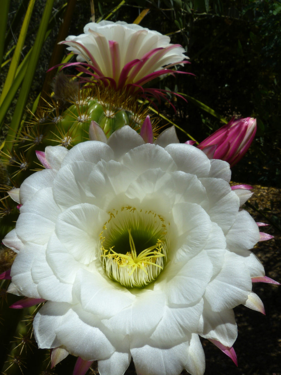 Echinopsis candicans  -  Desert Botanical Garden  -  Phoenix, Arizona