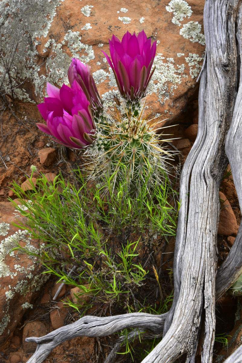Strawberry Hedgehog Cactus  -  Yavapai Vista Trail  -  Red Rock Country  -  Coconino National Forest, Arizona