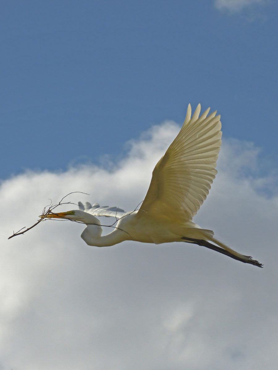 Great Egret with Nesting Material  -  Phoenix Zoo  -  Phoenix, Arizona