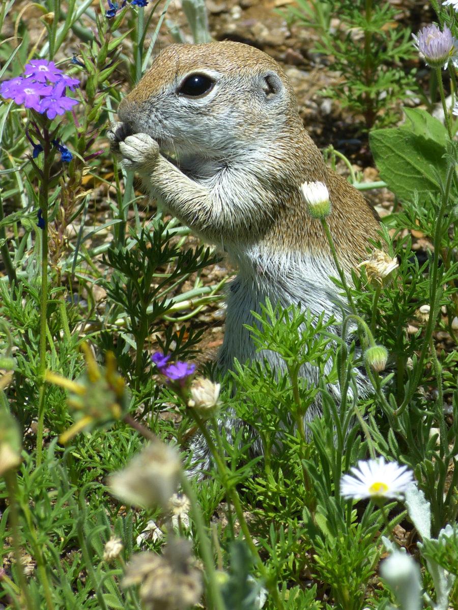 Round-tailed Ground Squirrel  -  Desert Botanical Garden  -  Phoenix, Arizona