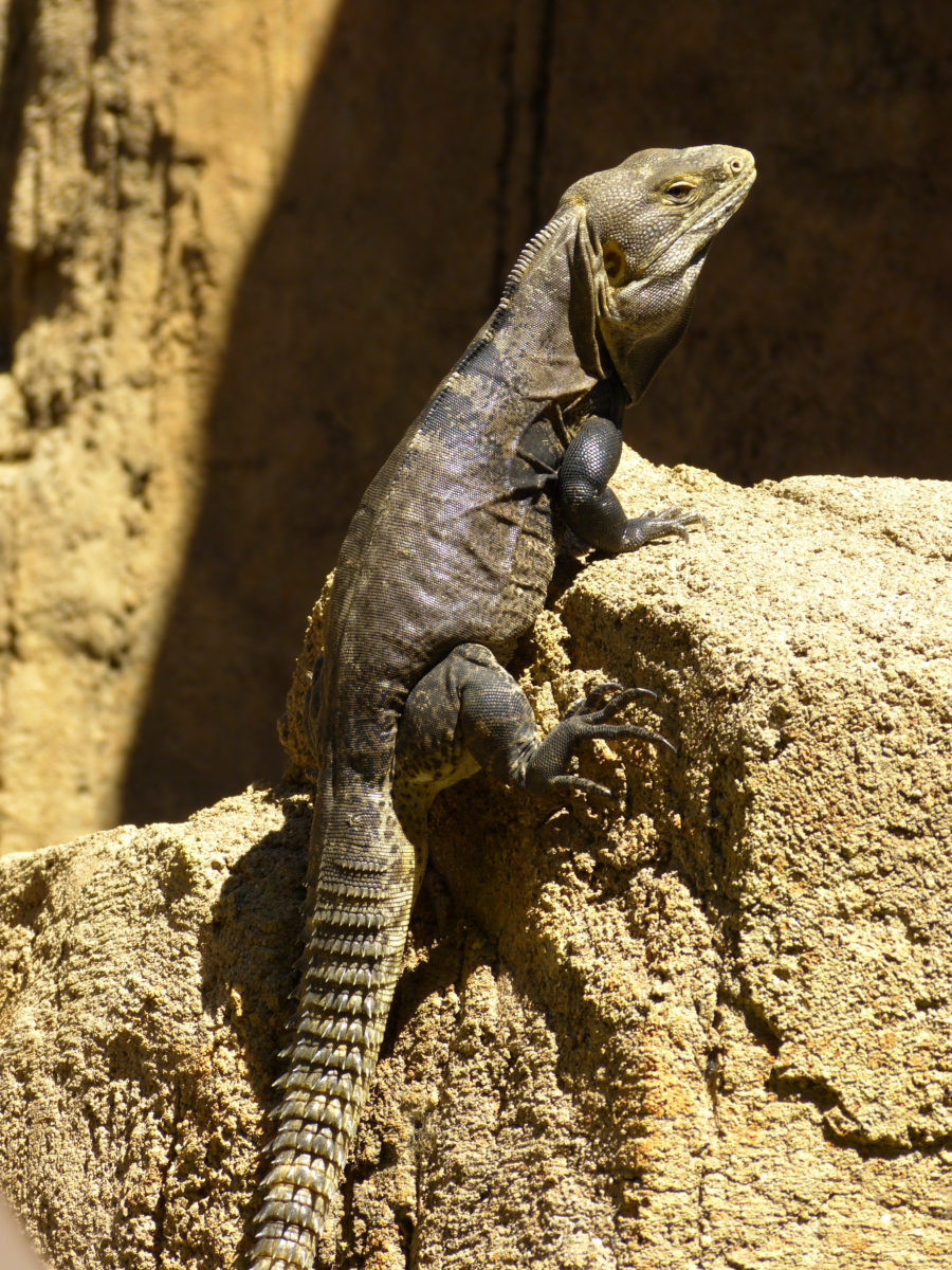 Spiny-tailed Iguana  -  Arizona-Sonora Desert Museum, Arizona