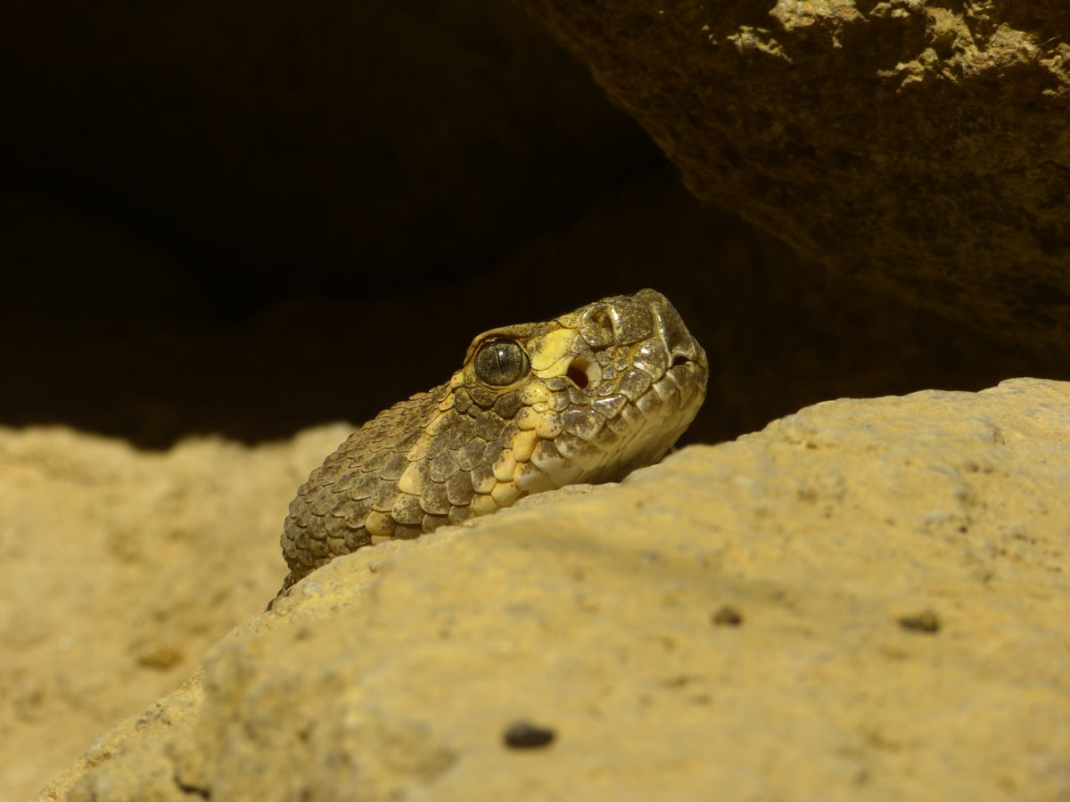 Western Diamondback Rattlesnake  -  Arizona-Sonora Desert Museum, Arizona