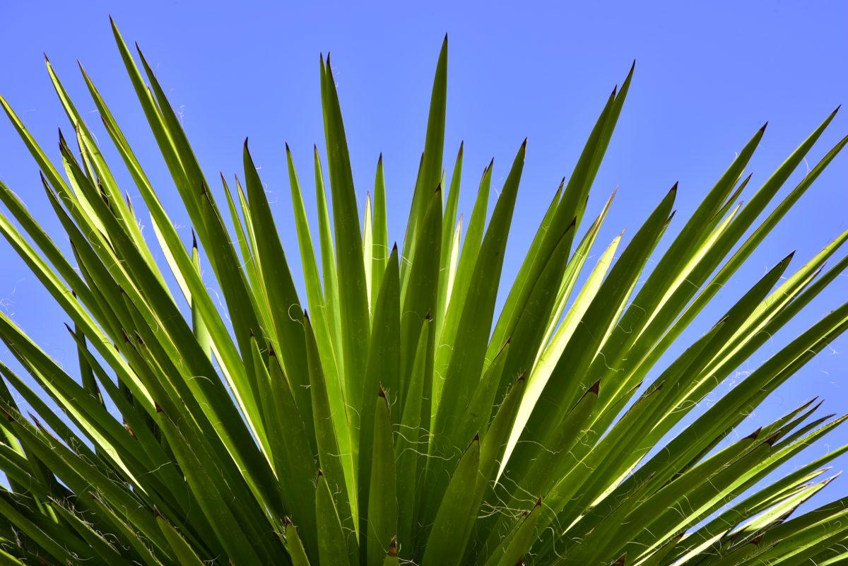 Giant Yucca  -  Boyce Thompson Arboretum State Park, Arizona