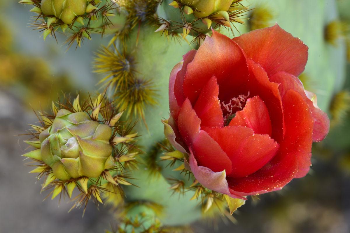 Prickly Pear Cactus Bloom and Bud  -  Boyce Thompson Arboretum State Park, Arizona