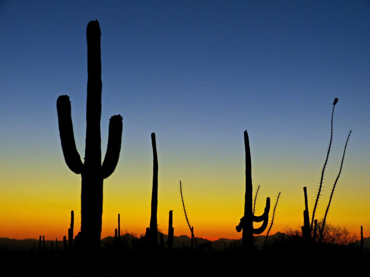 Saguaro Cacti and Ocotillo at Twilight  -  Saguaro National Park (West Section), Arizona