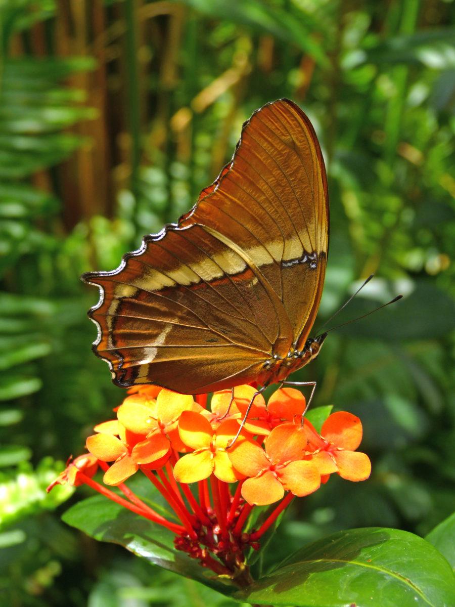 Black and Tan Page Butterfly  -  Butterfly Wonderland  -  Scottsdale, Arizona