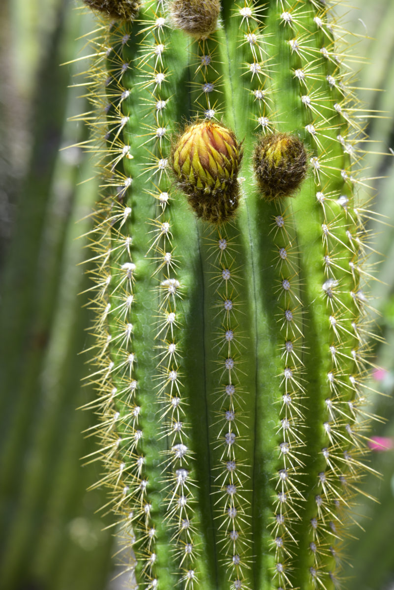 Cactus Trunk and Buds  -  Arizona-Sonora Desert Museum, Arizona