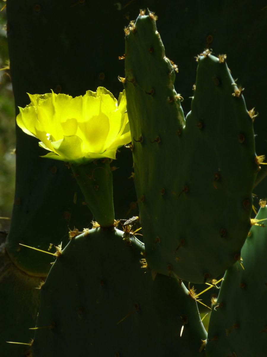 Prickly Pear Cactus Bloom  -  Desert Botanical Garden  -  Phoenix, Arizona